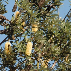 Banksia 'Coastal Banksia' integrifolia - plantsonkew.com