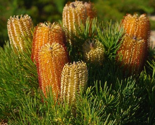 Banksia'Coastal Cushion' - spinulosa - plantsonkew.com