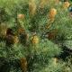 Banksia 'Golden Candles' - plantsonkew.com