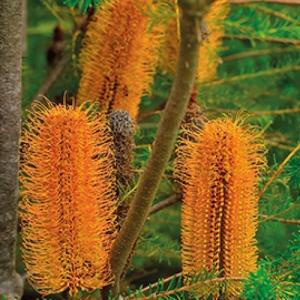 Banksia 'Heath' - plantsonkew.com