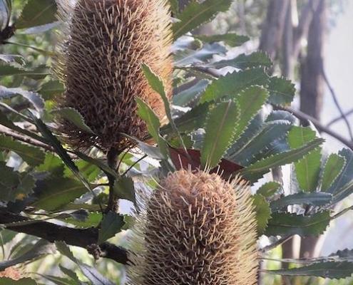 Banksia 'Old Man' - plantsonkew.com jpg
