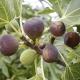 Fig Black Genoa - ficus carica - plantsonkew.com