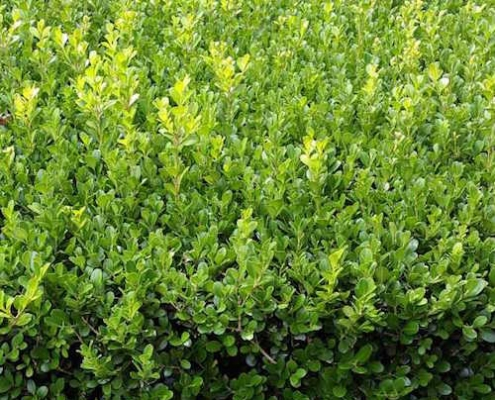 Buxus 'Japanese Box' - microphylla japonica - plantsonkew.com