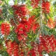 Callistemon 'Hannah Ray' - plantsonkew.com
