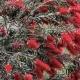 Callistemon 'Kings Park Special' - plantsonkew.com