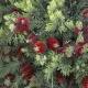 Callistemon 'Little John' dwarf - plantsonkew.com
