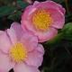 Camelia-Plantation-Pink-plantsonkew.com