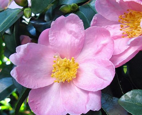 Camellia 'Edna Butler' = plantsonkew.com