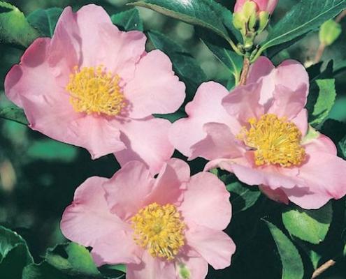 Camellia 'Exquisite' - Camellia sasanqua - plantonkew.com