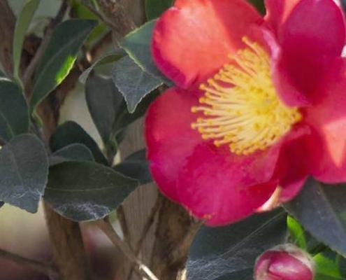 Camellia-Yuletide-plantsonkew.com