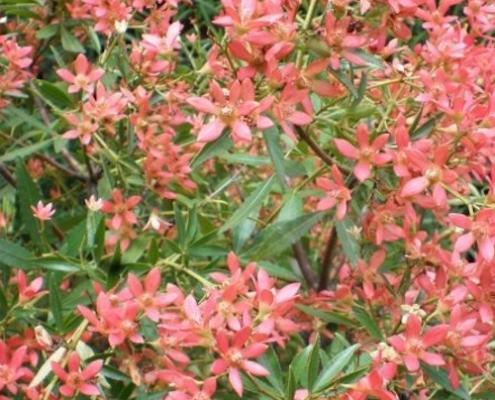 Christmas Bush - plantsonkew.com