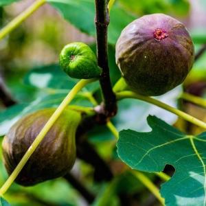 Fig 'Brown Turkey' - ficus cardiac - plantsonkew.com
