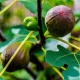 Fig 'Brown Turkey' - ficus cardiac - plantsonkew.com