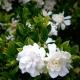 Gardenia-Florida - plantsonkew.com