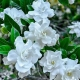 Gardenia-Magnifica - plantsonkew.com