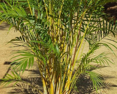 Golden Cane Palm - plantsonkew.com