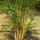 Golden Cane Palm - plantsonkew.com