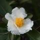 GORDONIA - Polyspora axillaris [Franlia] - plantsonkew.com
