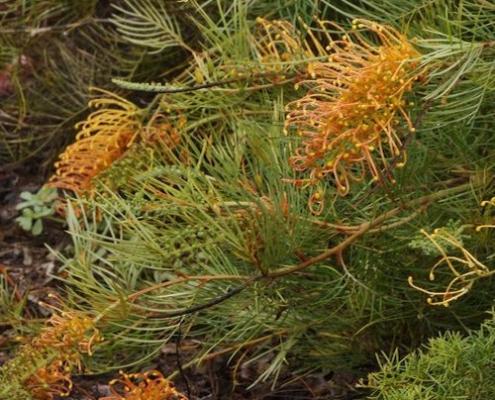 Grevillea 'Amber Blaze' - plantsonkew.com