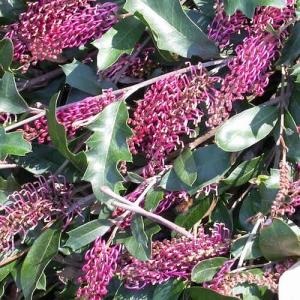 Grevillea 'Bedspread' - plantsonkew.com