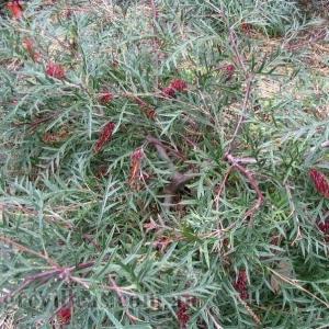Grevillea 'Bronze Rambler'  - plantsonkew.com