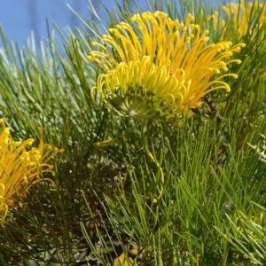 Grevillea 'Cooroora Cascade' - plantsonkew.com