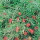 Grevillea 'Gingin Gem' - plantsonkew.cpm