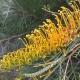Grevillea 'Golden Lyre' - plantsonkew.com