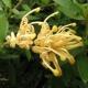 Grevillea 'Goldfever' - plantsonkew.com