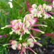 Grevillea 'Hills Jubilee' - plantsonkew.com