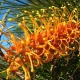 Grevillea 'Honey Gem' - plantsonkew.com