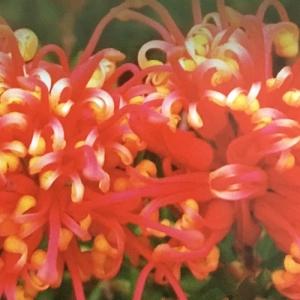 Grevillea 'Knockout' - plantsonkew.com