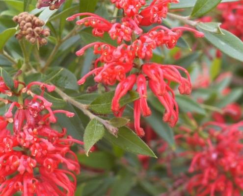 Grevillea 'Lady O' - plantsonkew.com