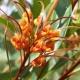 Grevillea 'Orange Marmalade' - plantsonkew.com