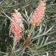 Grevillea 'Pink Surprise' - plantsonkew.com