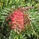 Grevillea 'Robyn Gordon' - plantsonkew.com