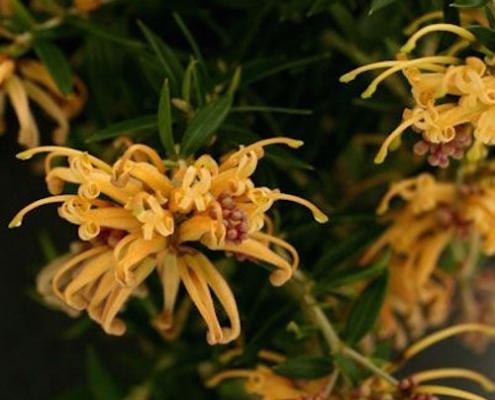 Grevillea 'Sunkissed' - plantsonkew.com