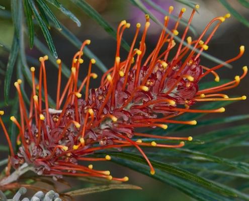 Grevillea 'Sunset Bronze' - plantsonkew.com
