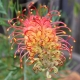 Grevillea 'Superb' plantsonkkew.com