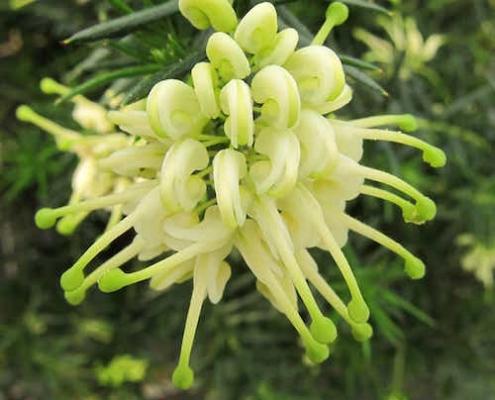 Grevillea 'White Knight' - plantsonkew.com