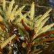 Grevillea 'White Oak' - baileyana' - plantsonkew.com