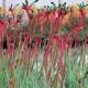 Kangaroo Paw 'Bush Dance' - plantsonkew.con