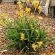 Kangaroo Paw 'Bush Matilda' - Anigozanthos 'Bush Matilda' - plantsonkew.com