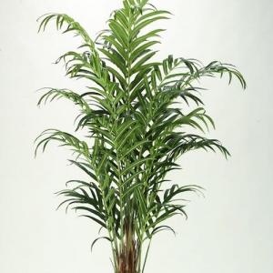 Kentia Palm - plantsonkew.com