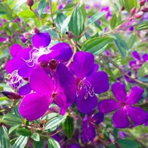 Lasiandra 'Jazzie' plantsonkew.com