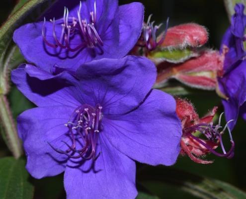 Lasiandra 'Jules' plantsonkew.com