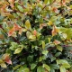 Lilly Pilly 'Resilience' - Syzgium - plantsonkew.com