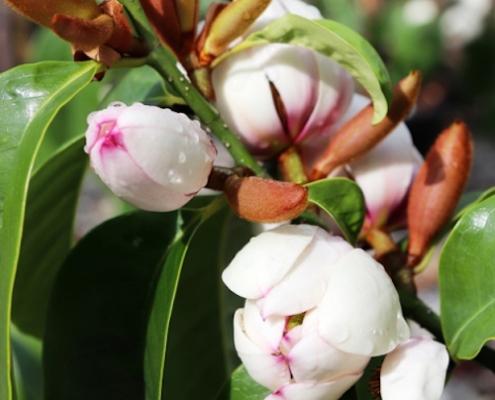 Magnolia 'Bubbles' plantsonkew.com