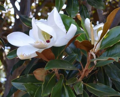 Magnolia 'Little Gem' - plantsonkew.com