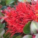 Metrosideros 'Tahiti' - plantsonkew.com